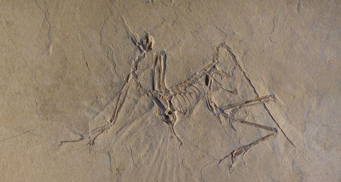 Un spécimen de l'Archaeopteryx de Munich - Crédit : ESRF/Pascal Goetgheluck