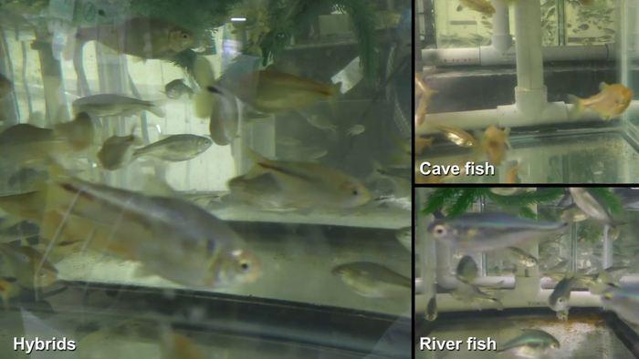 Les chercheurs qui tentent de mieux comprendre et traiter les troubles de la glycémie tels que le diabète de type 2 peuvent rechercher de nouveaux indices chez des petits poissons étranges qui vivent dans des grottes mexicaines.