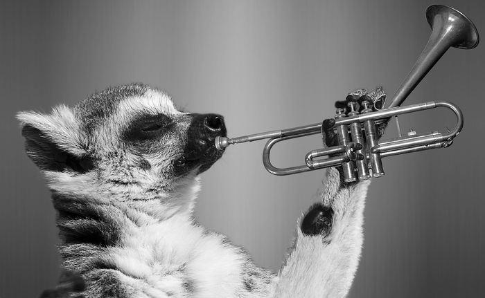Les lémuriens, qui sont capables de réussir une tâche et qui sont observés par d'autres, bénéficient de plus de liens sociaux. Cela suggère que l'apprentissage et la réussite peuvent influencer la hiérarchie sociale.