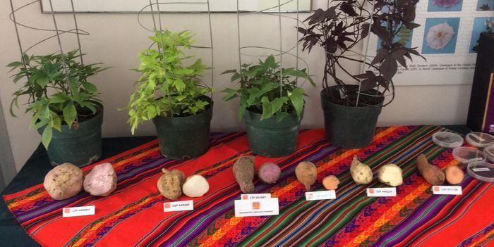 Des variétés de patate douce à l'International Potato Center à Lima au Pérou - Crédit : Robert Scotland