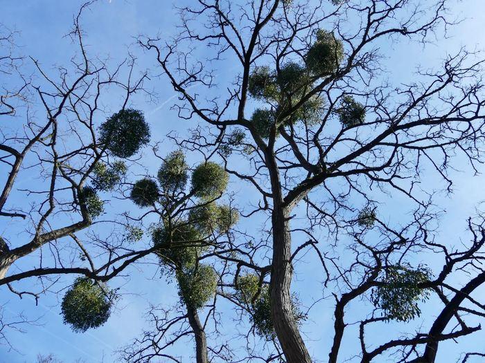 Le gui qui se développe sur un arbre - Crédit : Hans-Peter Braun, Leibniz Universität Hannover, Germany