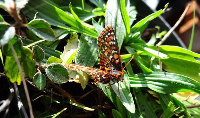 Un papillon de l'espèce Edith's checkerspot (Euphydryas editha) sur une feuille de plantain (Plantago lanceolata) - Crédit : Michael C. Singer/University of Plymouth