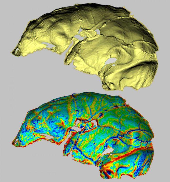 L'endocast d'Homo naledi (en haut) avec une carte de courbure (en bas) souligne le sulci qui est visible. L'avant du cerveau de naledi ressemble à celui des humains malgré sa petite taille - Crédit : Heather Garvin