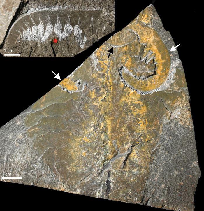 Des fossiles à corps mou exceptionnellement conservés du prédateur du Cambrien et euarthropode de la lignée Anomalocaris canadensis provenant du Burgess Shale au Canada.   En haut à gauche : Un appendice frontal montrant une segmentation similaire aux euarthropodes modernes.   En bas à droite : Un spécimen complet montrant une paire d'appendices frontaux (flèches blanches) et des pièces buccales constituées de plaques avec des dents (flèche noire) sur la tête - Crédit : A. Daley