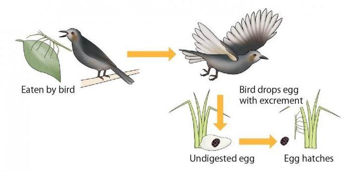 Le processus de propagation de certains phasmes quand ils sont mangé par les oiseaux - Crédit : Kobe University