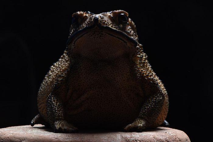 Le Duttaphrynus melanostictus, un crapaud toxique qui menace la faune de Madagascar - Crédit : Wolfgang Wüster