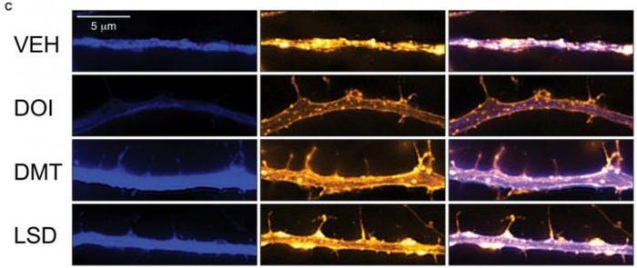 Cette image montre les effets de 3 psychédéliques et d'un contrôle (VEH) sur les neurones corticaux - Crédit : Ly et al.