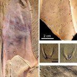 Le fossile de la nouvelle espèce de chancelloriidé. Un animal énigmatique de la période cambrienne avec un corps en forme de tube, des épines et des cicatrices en forme de beignet - Crédit : Derek Siveter/Tom Harvey/Peiyun Cong