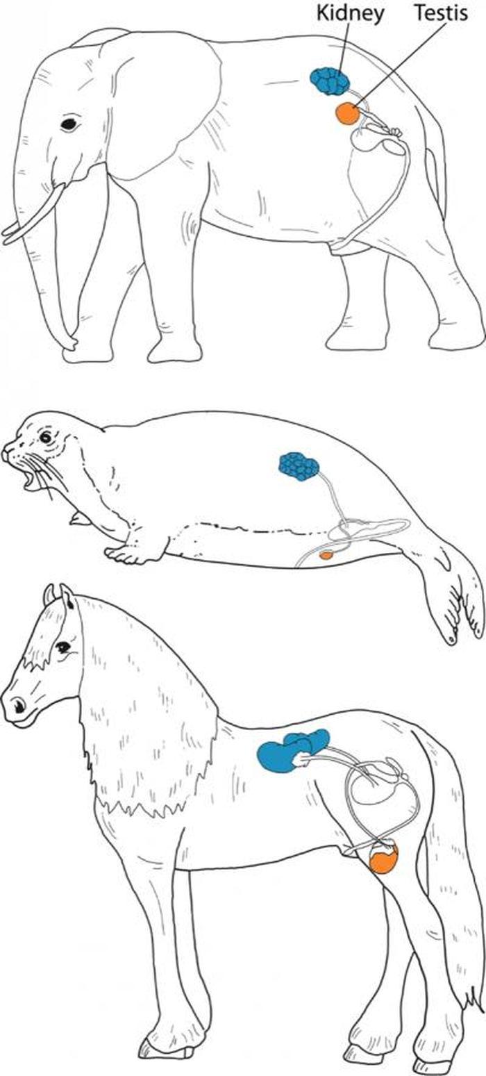 La position des testicules chez les éléphants, les phoques et les chevaux met en évidence que la descendance testiculaire ne se produit pas chez les afrothériens - Crédit : Sharma et al., 2018