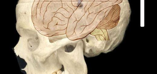 Un crâne avec une superposition du cerveau - Crédit : Fiddes et al./Cell