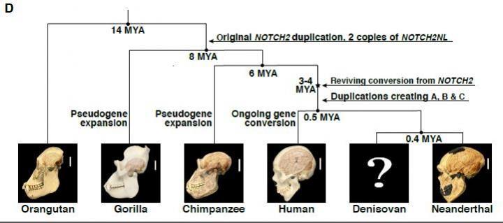 Cette figure illustre l'histoire évolutive des gènes NOTCH2NL dans la lignée des grands singes - Crédit : Fiddes et al./Cell