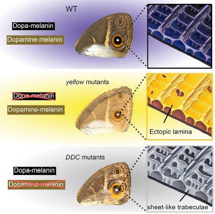 Ce visuel montre les résultats de l 'étude, qui découvrent que les délétions des gènes de la mélanine jaune et de la DDC modifient à la fois la couleur et la morphologie des écailles des ailes de Bicyclus anynana - Crédit : Matsuoka & Monteiro/ Cell Reports