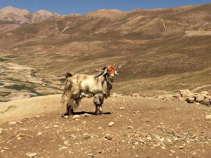 Une chèvre domestique de la tribu nomade Bakhtiari à Chelgerd, dans le centre de Zagros (Iran) - Crédit : Marjan Mashkour, 2017