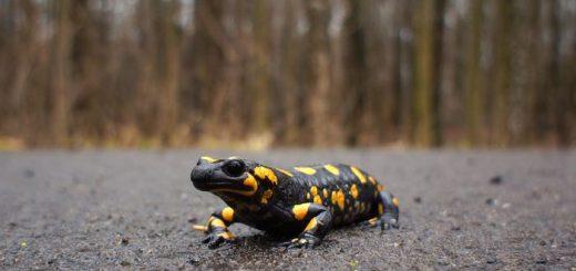 Selon une nouvelle étude publiée dans Science Advances, les salamandres pourraient être plus résistantes face au réchauffement climatique.