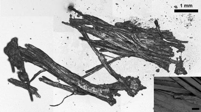 Cette image montre deux grands faisceaux de fibres musculaires. La barre d'échelle indique 20μm. Les longues cellules musculaires cylindriques non ramifiées apparaissent souvent en faisceaux et présentent toujours des structures de fibres striées perpendiculaires à l'axe des fibres longues caractéristiques des tissus musculaires cardiaques et squelettiques - Crédit : Institute for Mummy Studies\Eurac Research\Frank Maixner