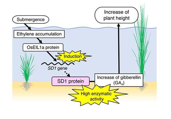 Le mécanisme moléculaire du riz en eau profonde - Crédit : Takeshi Kuroha, Keisuke Nagai et Motoyuki Ashikari