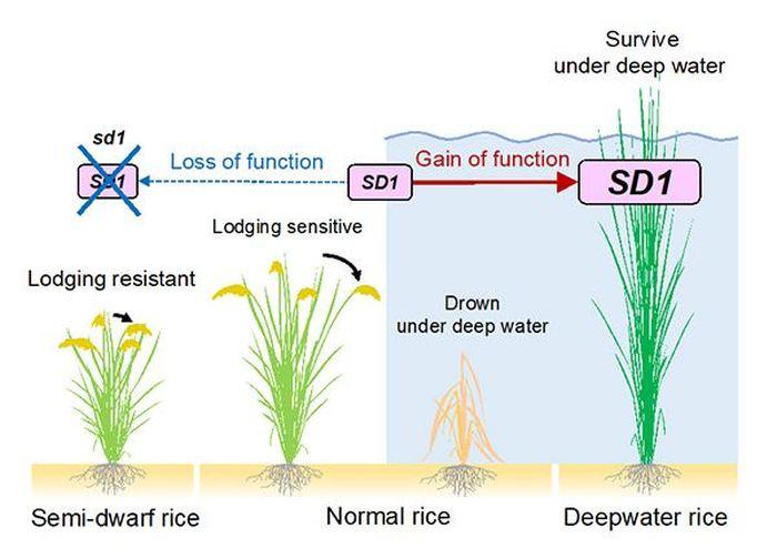 Le gène SD1 permet à la plante de s'adapter à différents environnements - Crédit : Takeshi Kuroha, Keisuke Nagai et Motoyuki Ashikari
