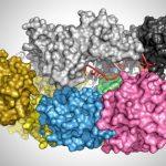 Cette image montre la protéine cas12a liée à une hélice d'ADN (rouge et blanc)