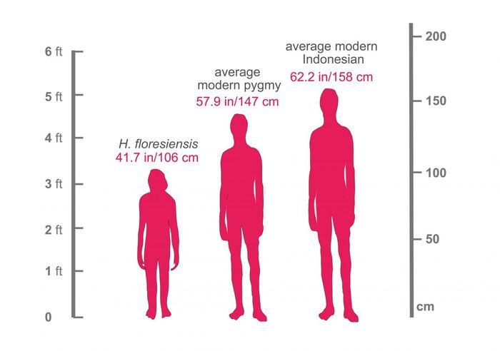 Cette image montre les hauteurs relatives d'un Indonésien moderne (158 centimètres), un pygmée moderne vivant sur l'île de Flores (147 centimètres) et Homo floresiensis (106 centimètres, qui est la hauteur d'un Américain moyen âgé de 4 ans) - Crédit : Dr. Serena Tucci, Department of Ecology and Evolutionary Biology, Princeton University