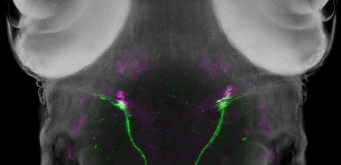 Une larve de poisson zèbre exprimant une protéine fluorescente verte dans les neurones moteurs abducens et une protéine fluorescente rouge dans le muscle oculaire (magenta) - Crédit : Kazuhide Asakawa