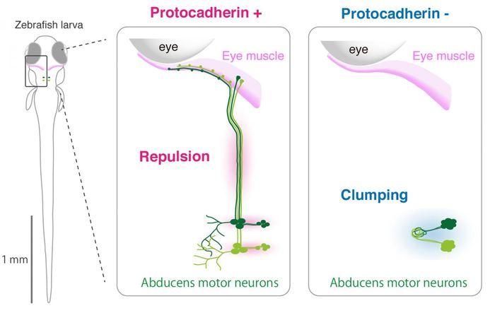 Les forces répulsives médiées par les protocadhérines favorisent la migration cellulaire et l'axone de nos neurones moteurs abducens (à gauche). La perte des forces rupulsives conduit à un phénotype agglomérant (à droite) - Crédit : Kazuhide Asakawa