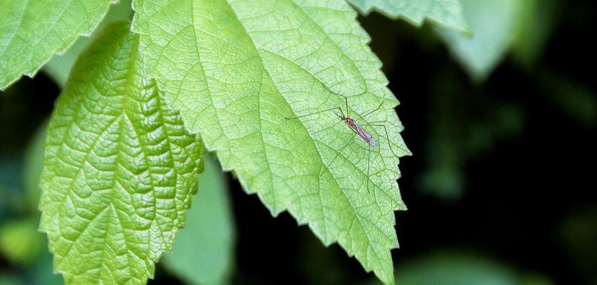 Malgré les questionnements qu'on peut avoir, les moustiques génétiquement modifiés sont la meilleure arme pour lutter contre la propagation des maladies par ces insectes. La technologie GM dans les moustiques est de plus en plus efficace et plus sûre que les méthodes actuelles.