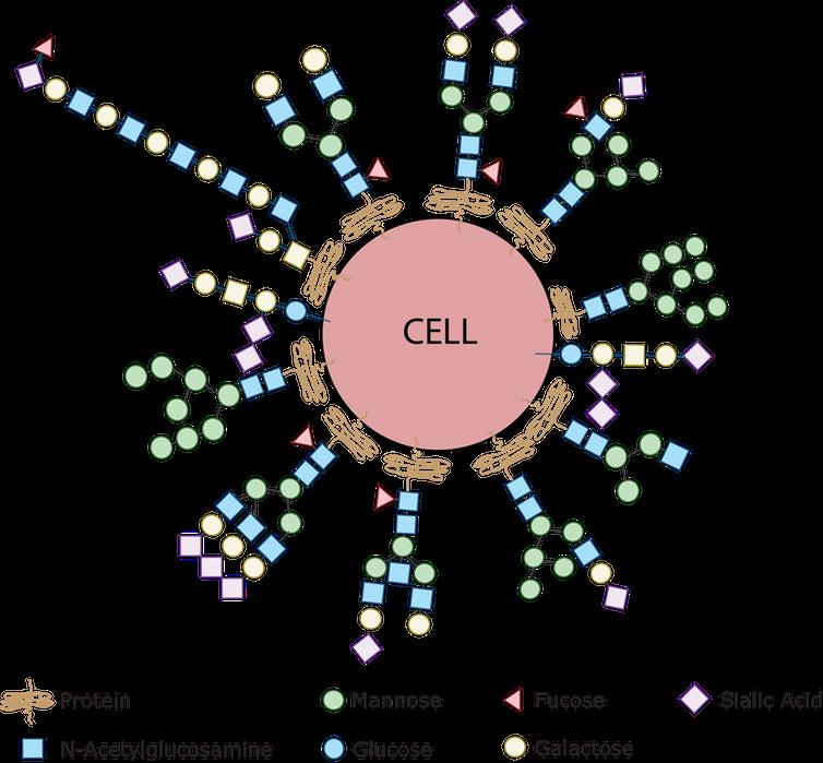Chaque cellule du corps humain est recouverte d'une collection de glycanes assemblés en utilisant différents sucres simples comme le glucose, le mannose, le galactose, l'acide sialique, la glucosamine et le frucose. En détectant le type de couche de sucre présent, nos cellules immunitaires peuvent identifier d'autres cellules comme ami ou ennemi. C'est parce que les bactéries ont à leur surface des sucres que l'on ne voit jamais sur les cellules humaines, les sucres de l'agent pathogène sont détectés par le système immunitaire et identifient les bactéries comme étrangères - Crédit : Emanual Maverakis, CC BY-SA