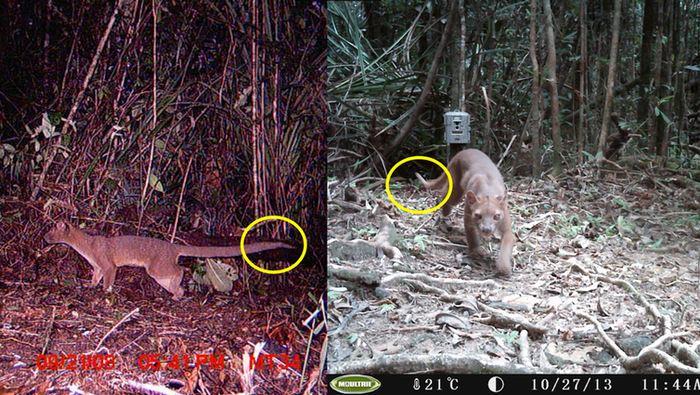 Flat Tail, aperçu en 2008 en tant que jeune (à gauche) et en 2013 en tant que mâle adulte (à droite). Nous avons pu suivre ce Fossa grâce à son extrémité de queue étrange et unique - Crédit : Asie Murphy & Zach Farris