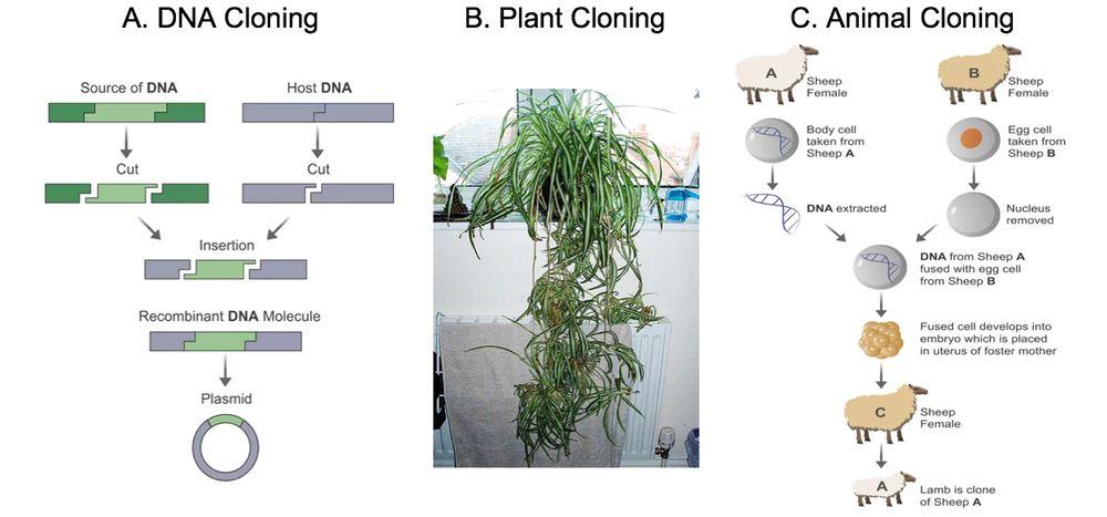 Le clonage se présente sous de nombreuses formes. A. Clonage d'ADN via PCR et un plasmide. B. Clonage de plantes. Une plante araignée se reproduit continuellement de manière asexuée, fabriquant des clones d'elle-même qui s'y accrochent en cherchant le sol où elle va s'enraciner. Les étapes décrivent l'introduction du noyau diploïde d'une cellule mature dans un ovule énucléé. C'est le processus qui nous a permis de cloner la brebis Dolly - Crédit : Hua Lu, CC BY-SA