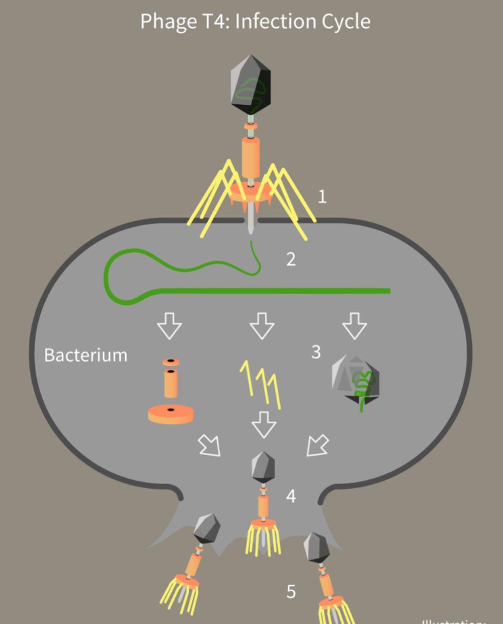 """Un virus appelé bactériophage infecte les bactéries et insère son matériel génétique dans la cellule. La bactérie """"lit"""" les instructions génétiques et fabrique plus de virus qui détruisent la bactérie à leur sortie de la cellule - Crédit : Crédit : Guido4, CC BY"""