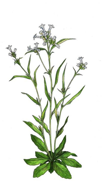 Nicotiana quadravalvus est l'une des nombreuses espèces de tabac utilisées par les peuples autochtones dans le cadre de pratiques religieuses et cérémonielles - Crédit : Emily Hull