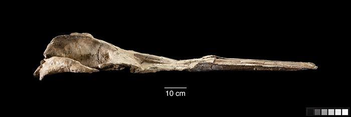 La mâchoire supérieure et le crâne de Maiabalaena nesbittae - Crédit : Smithsonian