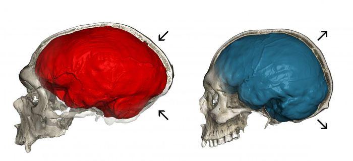 Cette image montre un scanner du fossile de Néandertal (à gauche) avec une empreinte endocrânienne allongée typique (en rouge) et un tomodensitomètre d'un homme moderne (à droite) montrant la forme endocrânienne globulaire caractéristique (en bleu) - Crédit : Philipp Gunz, CC BY-NC-ND 4.0