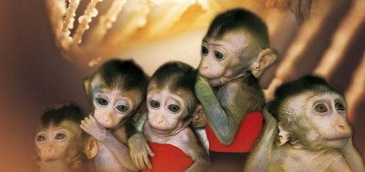 Des chercheurs rapportent le clonage de 5 singes qui ont été génétiquement modifiés pour exprimer certaines maladies. Cela ouvre à la voie à des singes génétiquement modifiés pour la recherche biomédicale et réduire ainsi le nombre de singes qu'on utilise actuellement dans la recherche médicale.