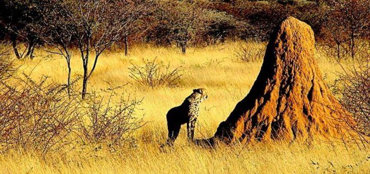 Un guépard autour d'une termitière d'une hauteur de plusieurs mètres en Namibie - Crédit : Harvard SEAS