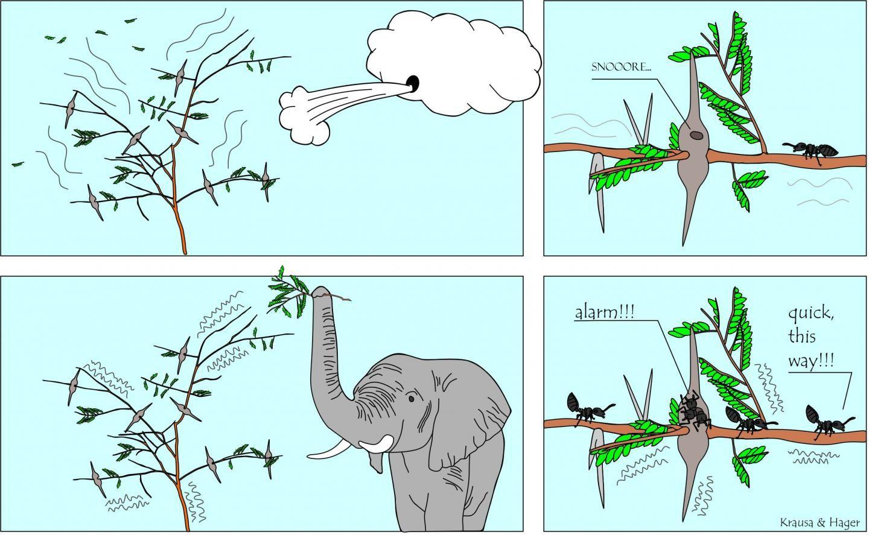 Cette bande dessinée décrit comment les fourmis acacia sont informées de la présence d'herbivores par les vibrations qui traversent les acacias lorsqu'un animal (éléphant) s'approche trop ou commence à mâcher. En conséquence, les insectes commencent à patrouiller plus activement les branches de l'acacia. Les fourmis ne réagissent pas lorsque les mouvements des arbres sont causés uniquement par le vent - Crédit : Felix A. Hager et Kathrin Krausa