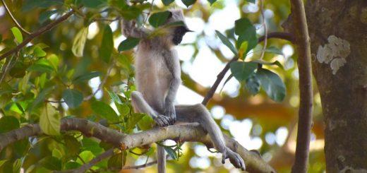 Un Semnopithecus priam, l'une des espèces de singes ciblées par les premiers humains qui se sont installés dans la grotte Fa Hien, au Sri Lanka - Crédit : O. Wedage