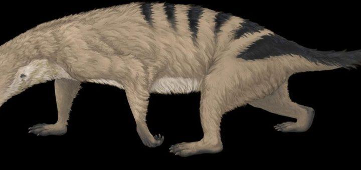 C'est un Thrinaxodon, un animal thérapside apparenté aux mammifères actuels. Les therapsides constituent le groupe où les parents des mammifères ont commencé à développer divers membres antérieurs - Crédit : April I. Neander