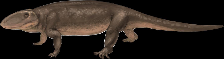 Il s'agit d'Ophiacodon, un proche parent d'un mammifère d'avant le début du développement de divers membres antérieurs - Crédit : April I. Neander