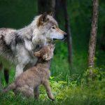La différence entre un loup et un chien est difficile à dire. Les débats continuent encore aujourd'hui. Mais l'intégration entre le chien et l'humain est vraiment particulier.