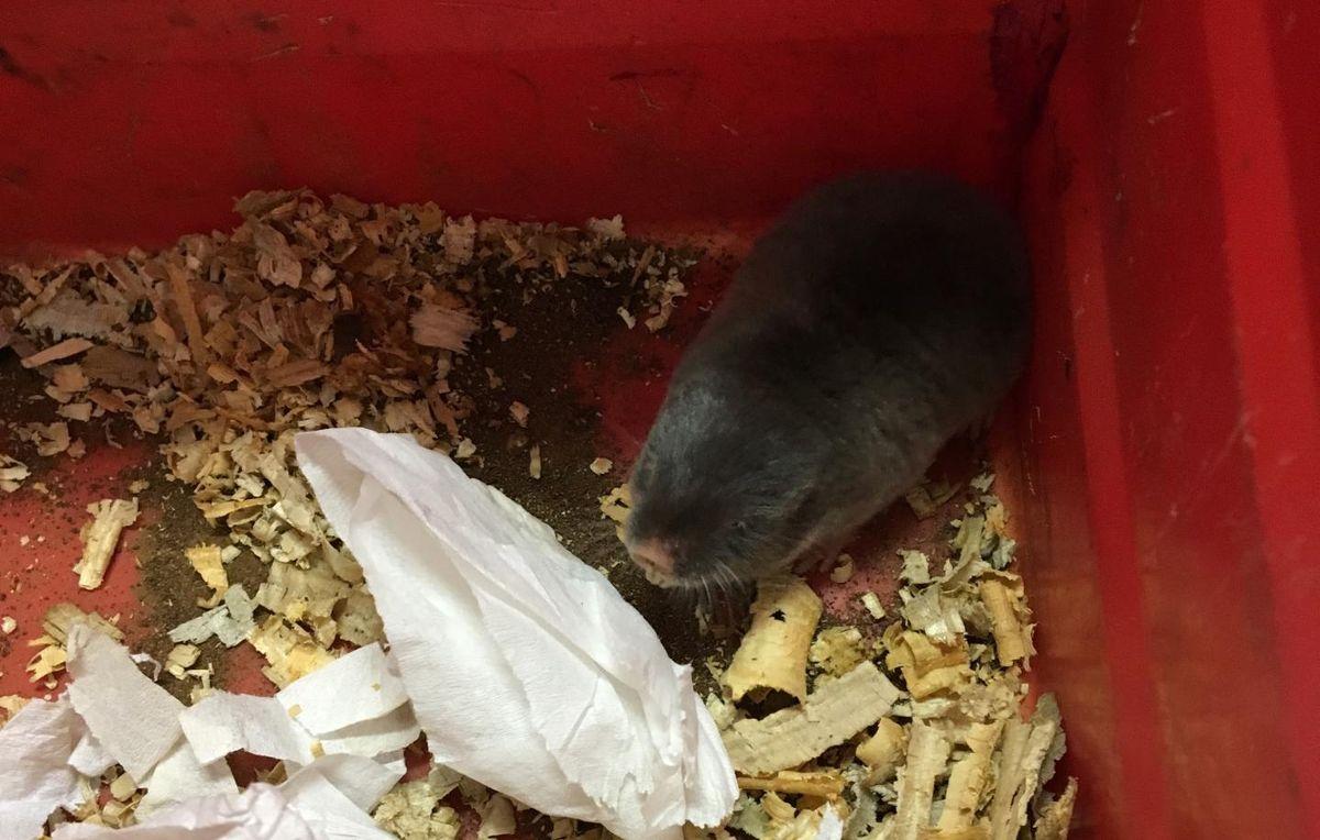 Le rat-taupe Highveld, de la famille du rat-taupe nu, est insensible à de nombreuses douleurs. Et on a découvert un gène précis qui supprimait la douleur.