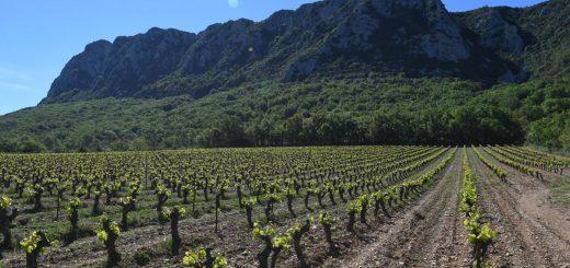 Un cépage encore utilisé dans la production de vin en France aujourd'hui peut être retracé 900 ans plus tôt à une seule plante ancestrale.