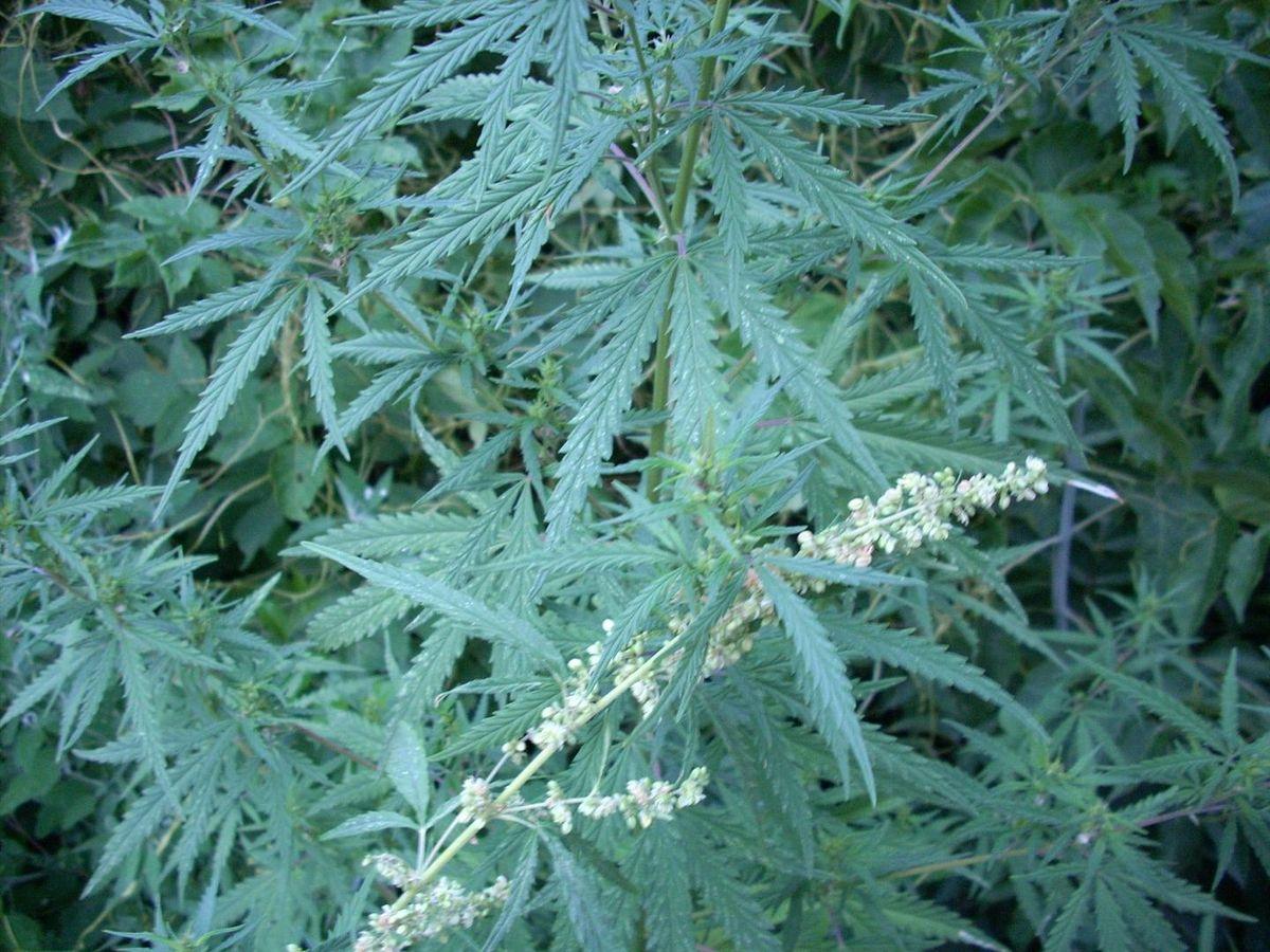 Découverte de la première preuve de consommation de cannabis à grâce à des résidus de brûleurs d'encens provenant de sépultures anciennes en Chine occidentale.
