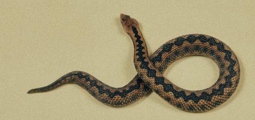 Chaque année dans le monde, des milliers de personnes meurent des suites d'une morsure de serpent et il n'y a pas assez de sérum antivenimeux. Mais même si nous avions l'antivenin dont nous avions besoin, les gens l'utiliseraient-ils ?