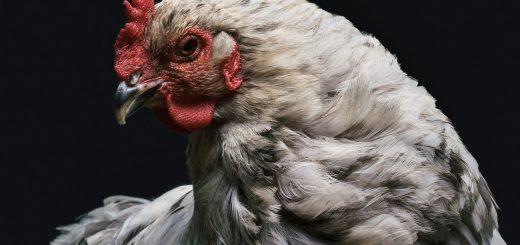 On a rapporté un étrange cas de zoanthropie sur une femme belge. Elle se prenait pour une poule dans tous ses aspects. En même temps, pas très différente des femelles normales, quoi !