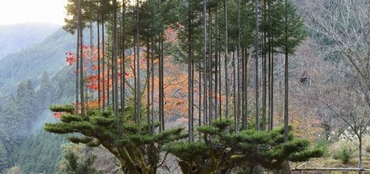 Daisugi est une technique forestière, développée au 14e siècle, pour produire beaucoup de bois à partir d'un seul arbre. Le résultat final est époustouflant.