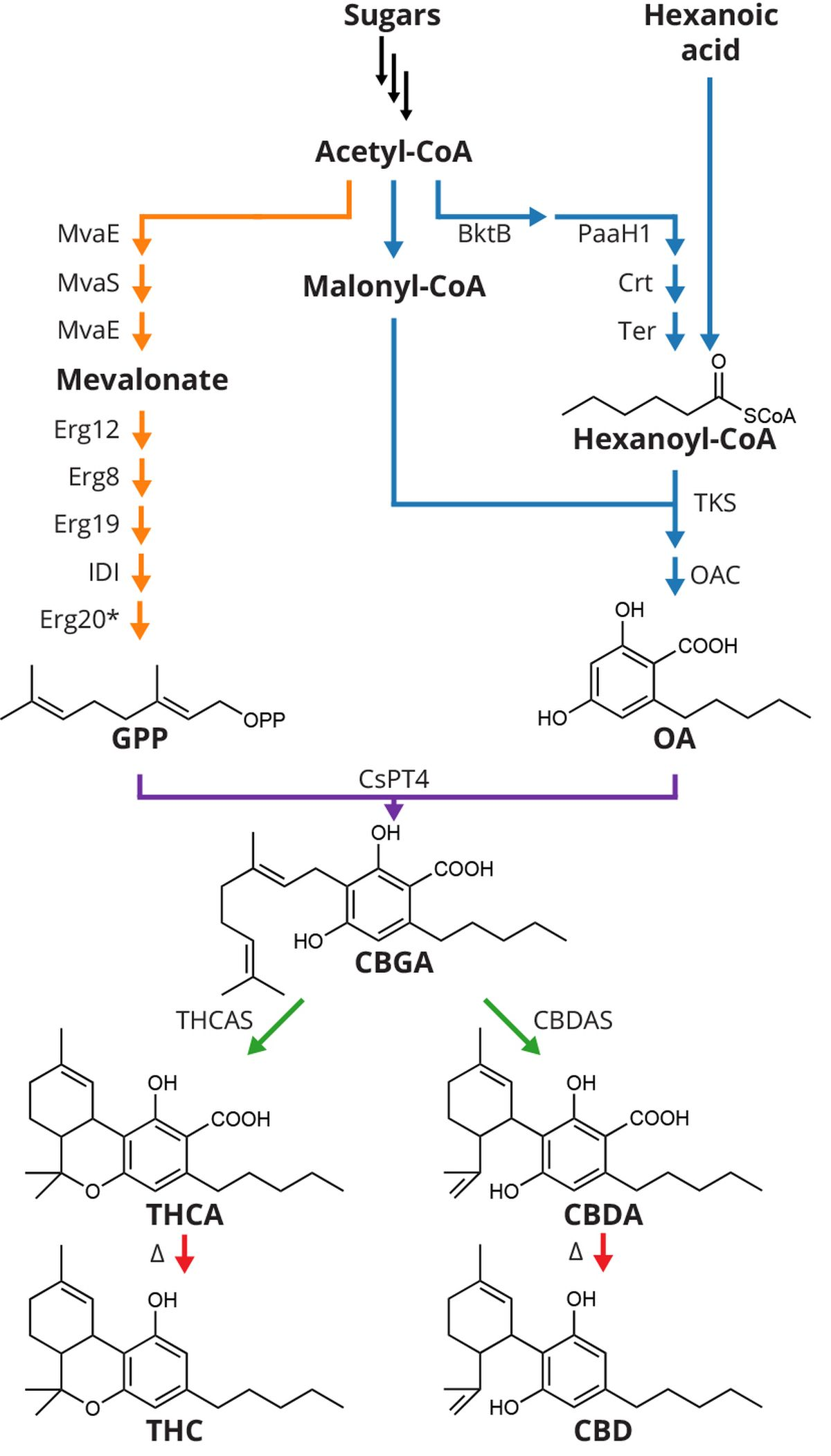 To produce cannabinoids in yeast (Saccharomyces cerevisiae), synthetic biologists at UC Berkeley first engineered the native yeast mevalonate pathway to provide high flux of geranyl pyrophosphate (GPP) and introduced a hexanoyl-CoA biosynthesis combining genes from five different bacteria. They then introduced cannabis genes encoding enzymes involved in the biosynthesis of olivetolic acid (OA), a prenyltransferase (CsPT4) enzyme and as yet undiscovered cannabinoid synthases. Synthases converted cannabigerolic acid (CBGA) to cannabinoid acids THCA and CBDA, which on exposure to heat decarboxylate to tetrahydrocannabinol (THC) and cannabidiol (CBD), respectively - Credit: Jay Keasling lab , UC Berkeley