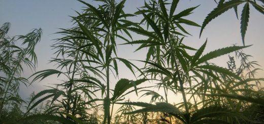 Les personnes atteintes de trouble obsessionnel-compulsif, ou TOC, rapportent que la gravité de leurs symptômes a été réduite d'environ la moitié dans les quatre heures suivant la consommation de cannabis à haute teneur de CBD.
