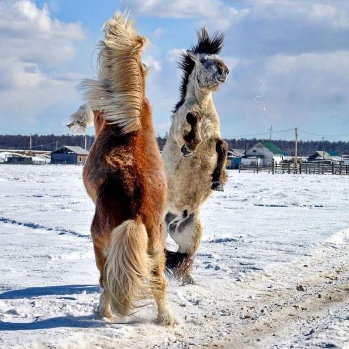 Les chevaux yakoutiens ont développé des capacités remarquables qui leur permettent de résister à des températures inférieures à -70 degrés Celsisus.
