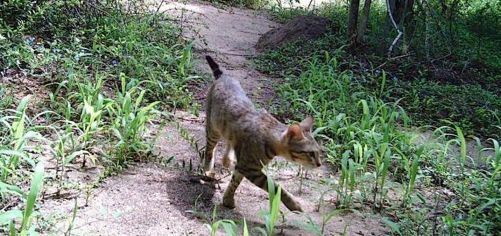 The origin of Madagascar's forest cats was uncertain. Now, a study is trying to shed some light on these strange animals.